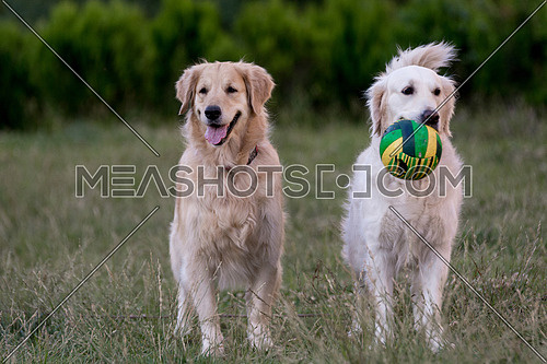 Two golden retrievers looking up with a joyful expression