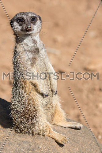 Cute meerkat or suricate sunning itself on a rock