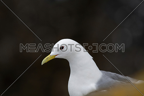Kittiwake (Rissa tridactyla) nesting on the sea cliffs
