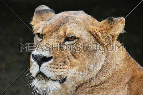 Close up side profile portrait of beautiful mature female African lioness looking away aside of camera over dark background, low angle view