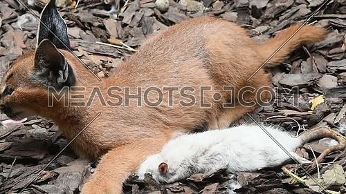 Close up view of one cute baby caracal kitten playing with food, dead white rat, imitating hunting and chasing prey