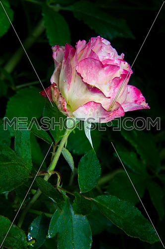 close up of beautiful pink rose flower with rain drops in garden at night in dark