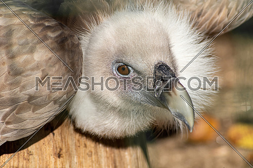 Griffon Vulture or Gyps fulvus. close up view