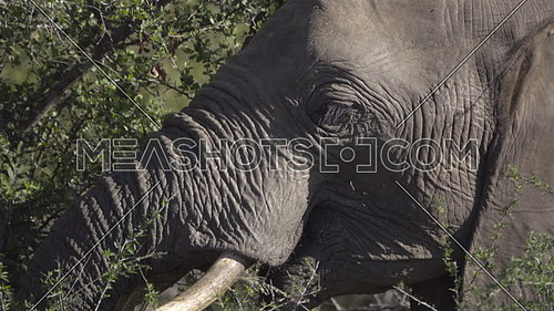 View of a young male elephant foraging for food
