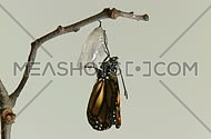 Monarch Butterfly Emerges from Chrysalis TIMELAPSE