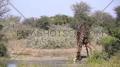 View of a Giraffe drinking at a lush watering hole