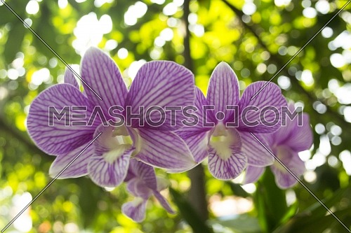 Purple orchid flowers in the garden with plant and leaves background