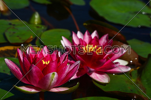 Close up purple water lily flowers in pond, high angle view