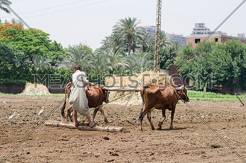 a farmer with two cows plowing