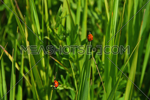 Two red ladybugs insects crawling in fresh green grass of summer season meadow, close up