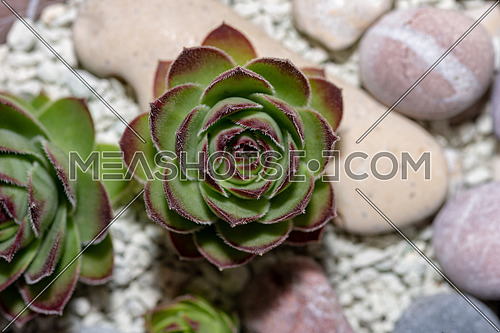 Macro photo of Sempervivum flower(Sempervivum arachnoideum ,Sempervivum tectorum) Great healthy plant for herbal medicine
