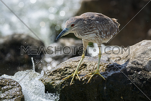Black Crowned Night Heron standing on a rock