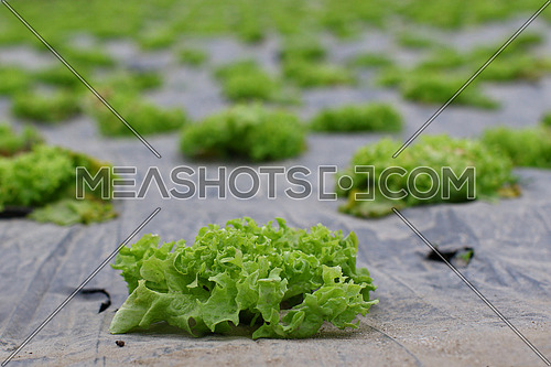Field of of fresh green bio salad agriculture