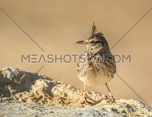 Crested Lark Portrait shot