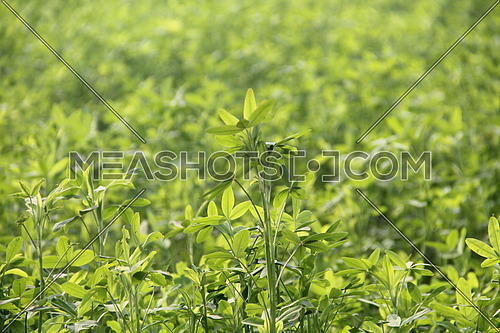 a close up of plants in rural area, Egypt