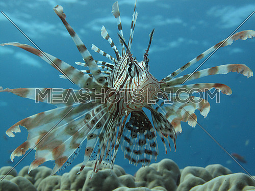 Lion fish with a clear turquoise backdrop