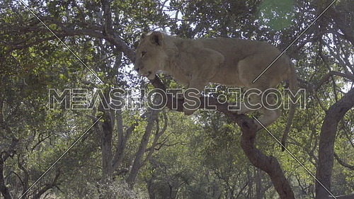 View of a young lion in a tree
