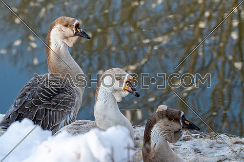 The Chinese goose is a domesticated goose descended from the wild swan goose.Selective focus
