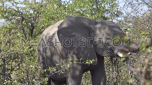 Scene of an elephant with crooked tusks smelling with trunk