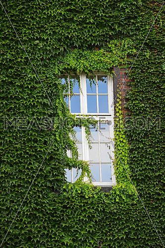 Window of old mansion house on brick wall mantled with ivy, summer day