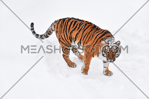 One young female Amur (Siberian) tiger standing in fresh white snow sunny winter day and looking up at camera, full length high angle view