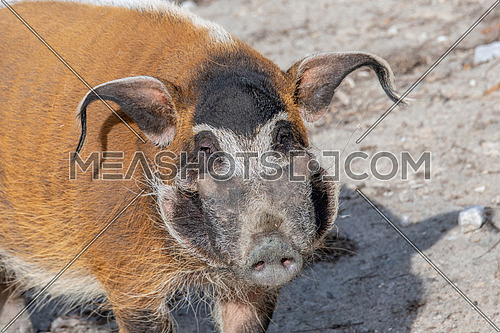 Red river hog (Potamochoerus porcus), also known as the bush pig. Wild life animal.