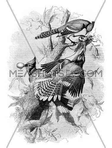 The Blue Jay, vintage engraved illustration. Magasin Pittoresque 1852.