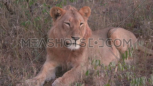 Scene of a resting Lion closes its eyes