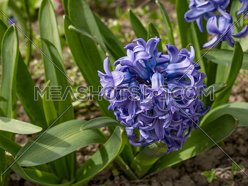 Closeup purple Hyacinthus. Spring flower background.