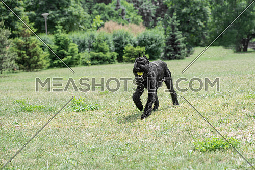 Riesenschnauzer dog running on the grass.