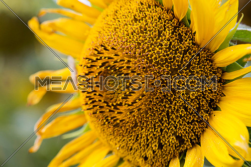 Close up young yellow sunflower blossom flower head with petals, stamen and pollen detail, side view