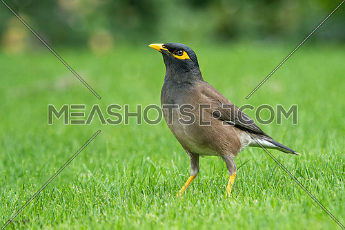 The Common Myna Native to Asia. This bird has a close relationship with humans.