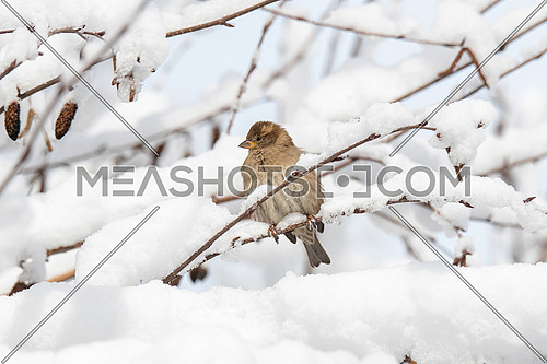 Beautiful little sparrow bird in natural background. Generally, sparrows are small, plump, brown-grey birds with short tails and stubby, powerful beaks.