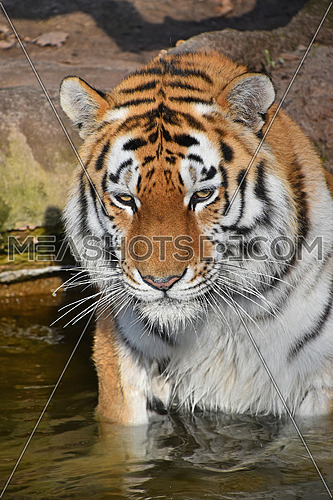 Close up portrait of young Siberian tiger (Amur tiger, Panthera tigris altaica) male in water, looking at camera, high angle view