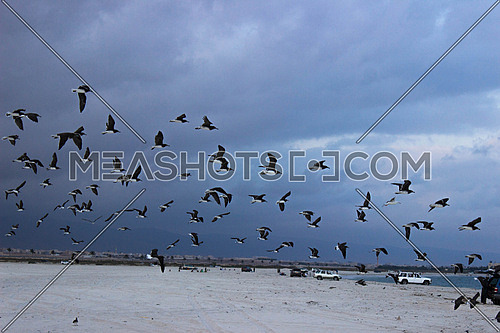 birds flying over a beach where cars are parked