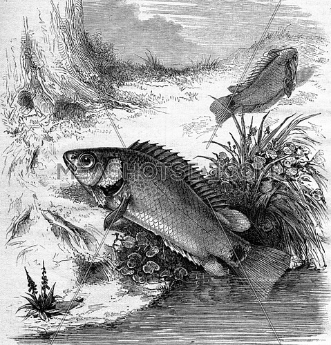 The Anabas or Fish climber, vintage engraved illustration. Magasin Pittoresque 1876.