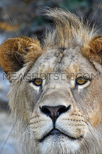 Extreme close up portrait of young cute male African lion with beautiful mane, looking at camera, low angle view