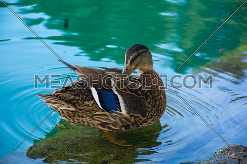 a duck at lake bled , Slovenia