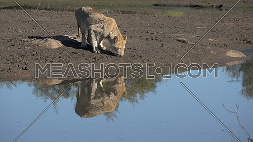 Scene of a lion near a watering hole