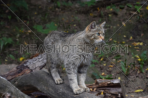 Close up side profile portrait of one European wildcat (Felis silvestris) standing and looking away alerted, low angle view