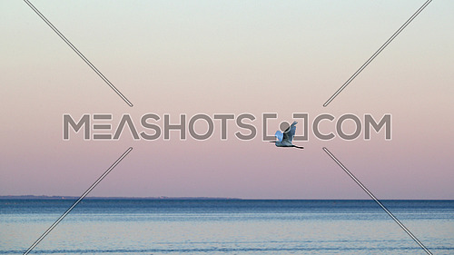 Little Egret, Egretta garzetta, in flight over the sea shore against pink sky after sunset