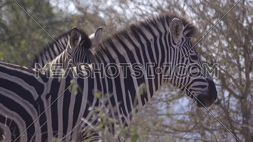 Profile view of an adult Zebra