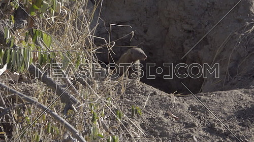 View of two common Dwarf Mongoose in a termite mound