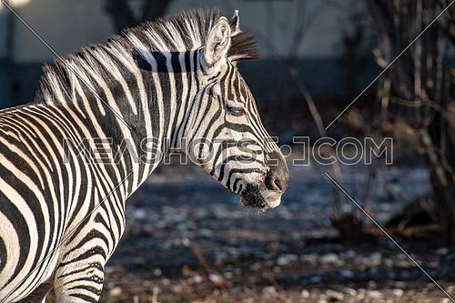 Close-up portrait of The plains Zebra Equus Burchelli common zebra