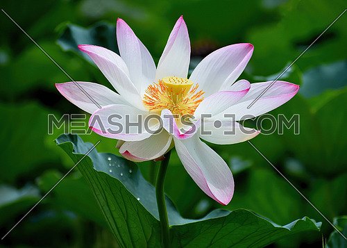 Beautiful  lotus or water lily flowers blooming on pond