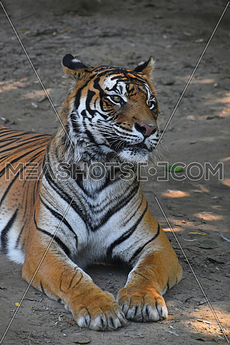 Close up of Sumatran tiger (Panthera tigris sumatrae) laying resting on the ground and looking away from camera