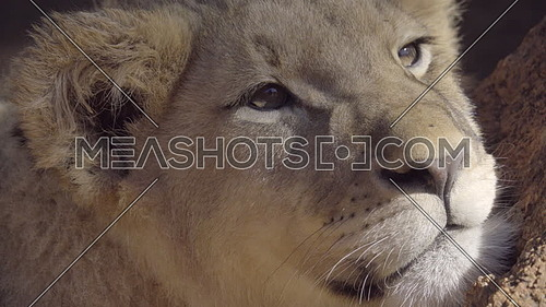 View of a drowsy lion cub in the shade