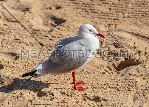 Close up photo of Silver Gull (Larus novaehollandiae) on the beach