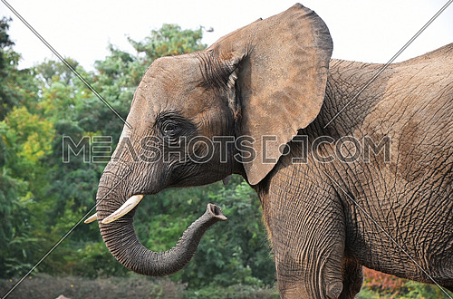 Close up side profile portrait of African elephant looking at camera over background of green trees, low angle view