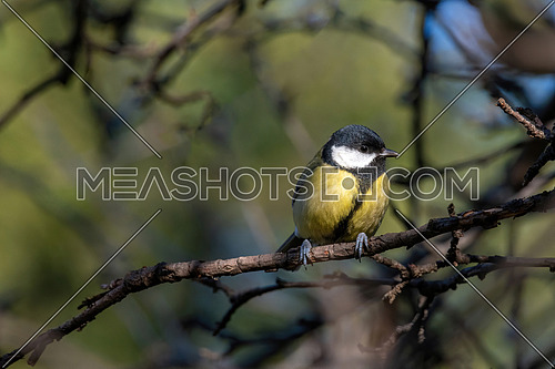 Parus major (Great tit) on branch. Small woodland bird in the family Paridae